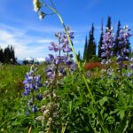 Black Tusk Meadows in Garibaldi Provincial Park. Photo: (Taryn Eyton)
